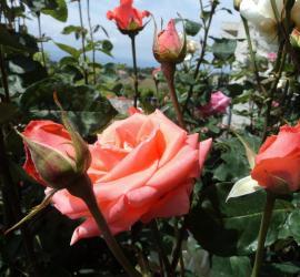 A pink rose garden